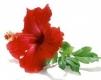 Hibiskus Blüten, Tee aus Gambia